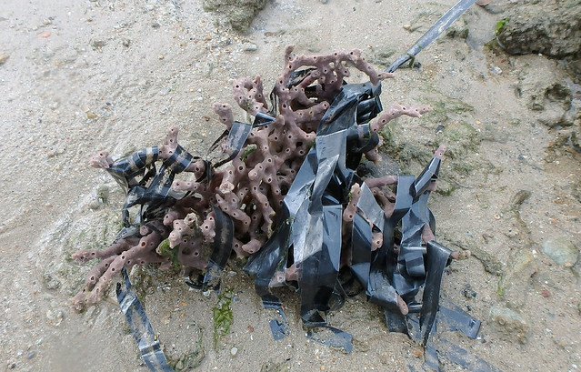 Purple branching sponge (Callyspongia sp.) entangled in litter