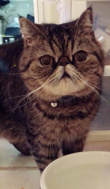 Exotic Shorthair Cat Pictures And Information Cat Breeds Com