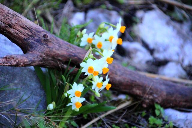 grappolo di fiori