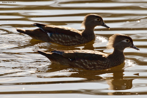 Female Wood Duck Couple
