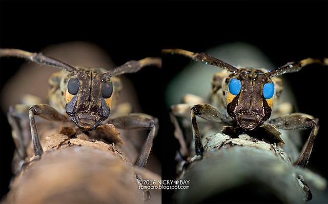 Longhorn Beetle (Anancylus griseatus) - Anancylus_DSC_7710