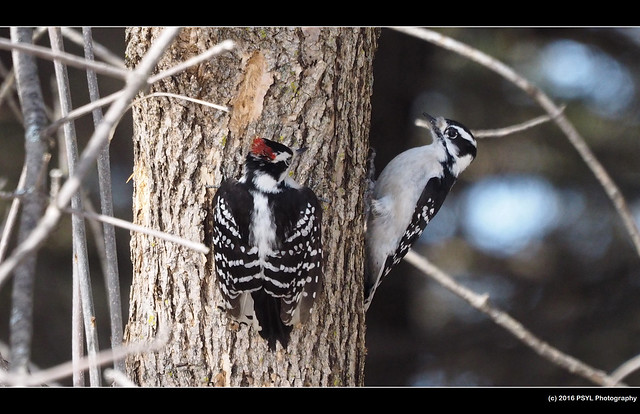 Downy Woodpeckers (Picoides pubescens)