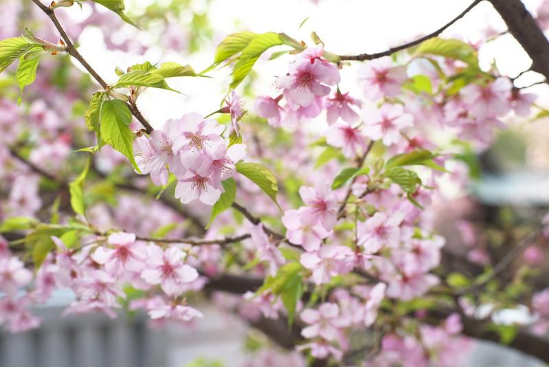 五條天神社の河津桜 東京路地裏散歩 2016年2月28日