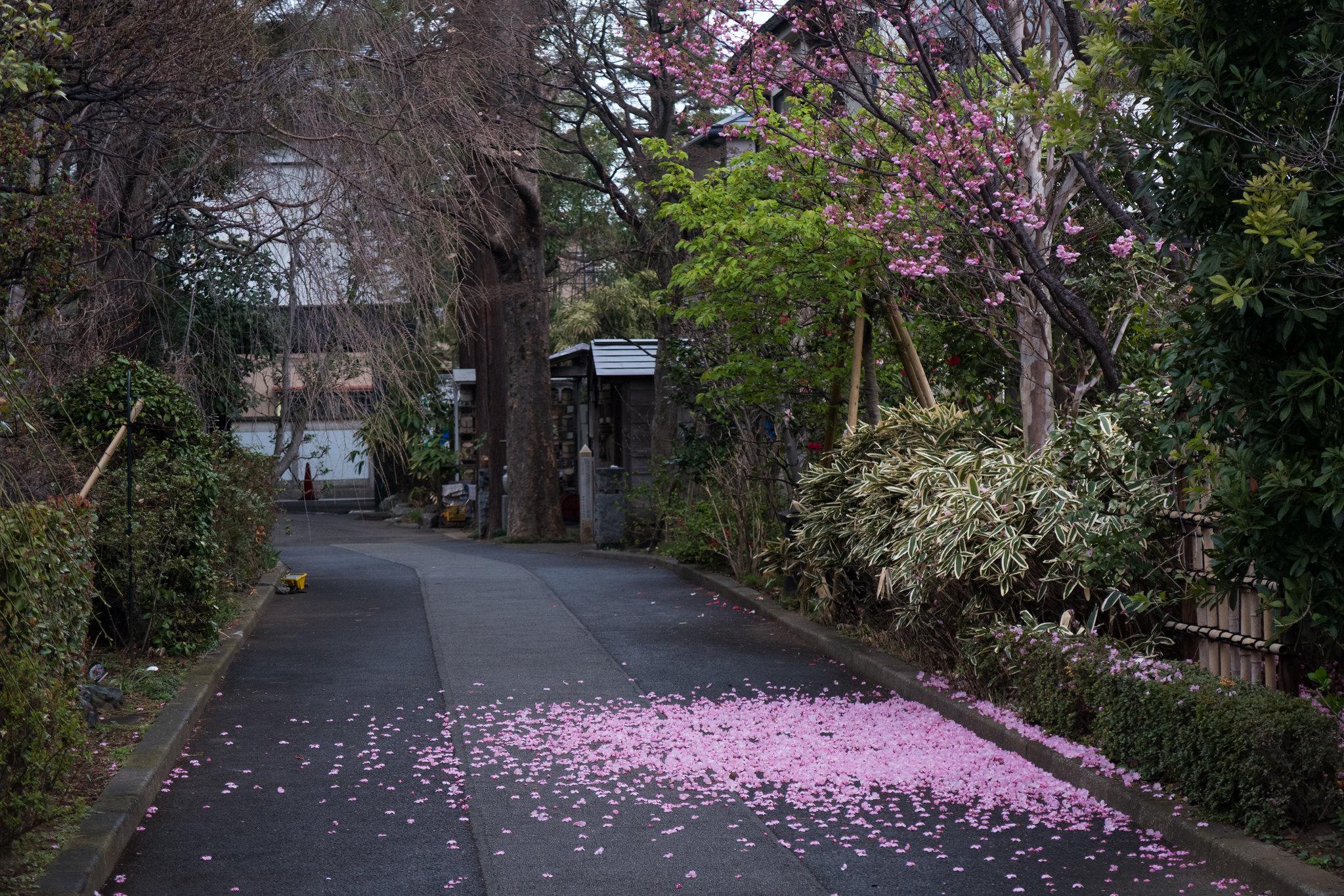 2016-03-24 ソメイヨシノ 001-15