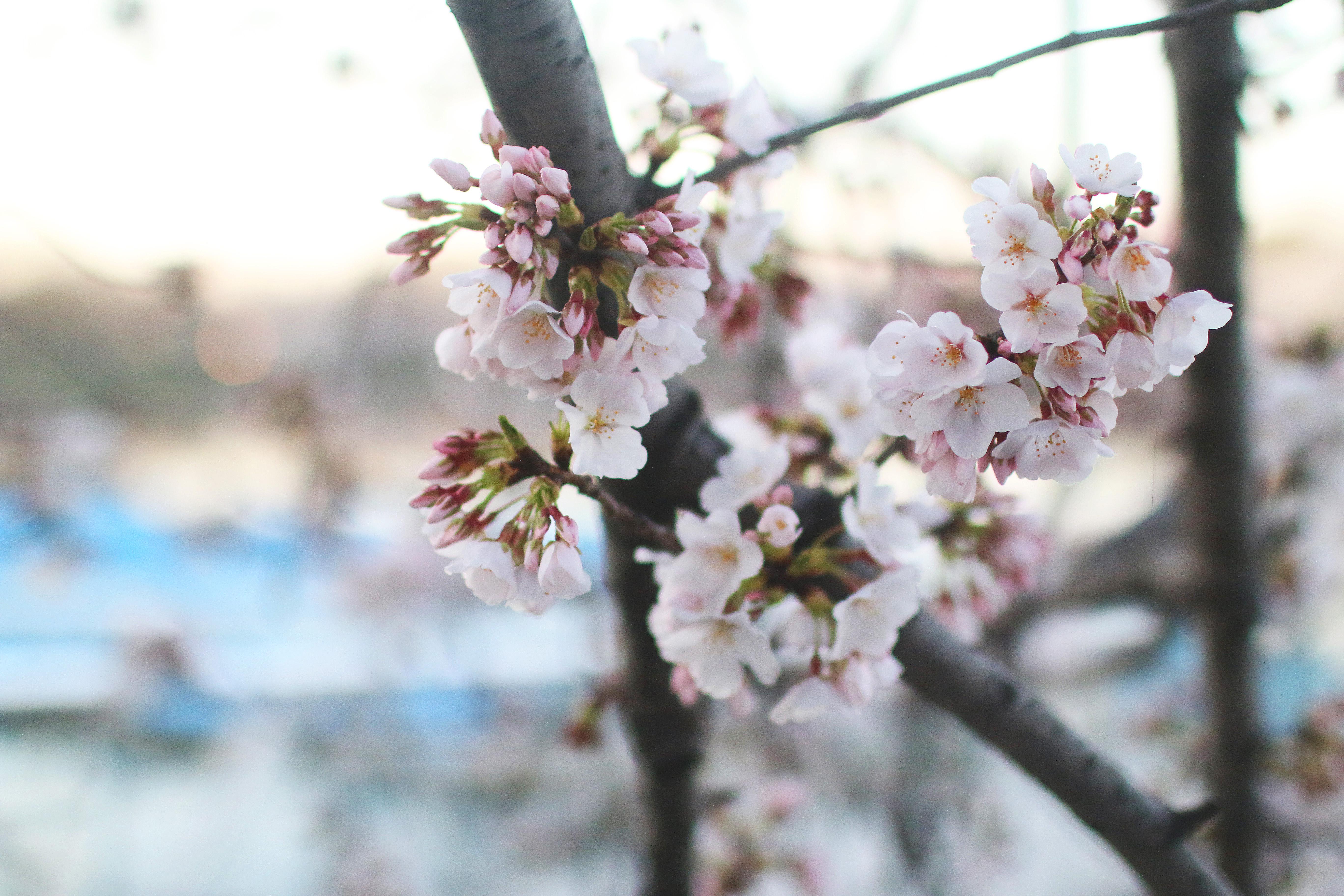 blossoms8