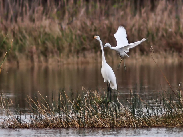 Little Blue Heron attacks Great Egret 2-20160308