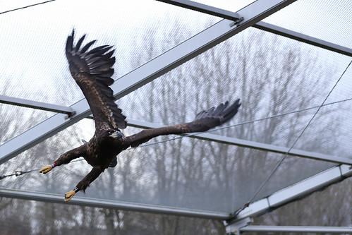 Eagle - Haliaeetus albicilla