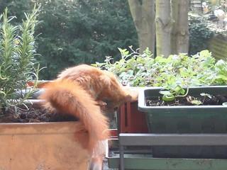 Eichhörnchen8