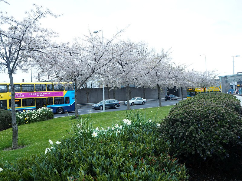dublinstreetP4150243, green, ireland, irlanti, dublin, luonto, nature, buss, bussi, dubble decker, kirsikankukka puu, cherry blossom tree,