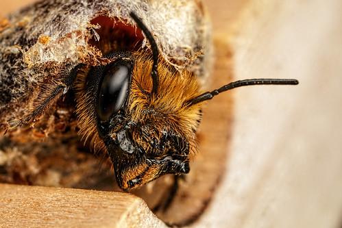 Hatching Female Mason Bee II