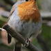 Robin in the garden #3 by Lord V