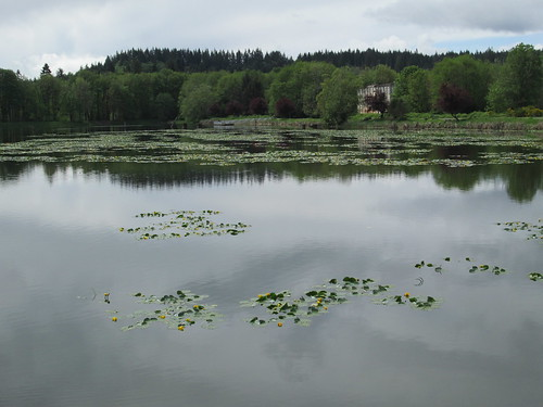 Water lilies in bloom, Lake Vernonia