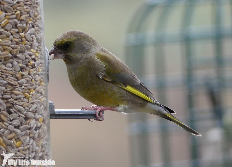 P1000052 - Greenfinch, Ynys-Hir