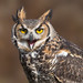 Great horned owl by Phiddy1