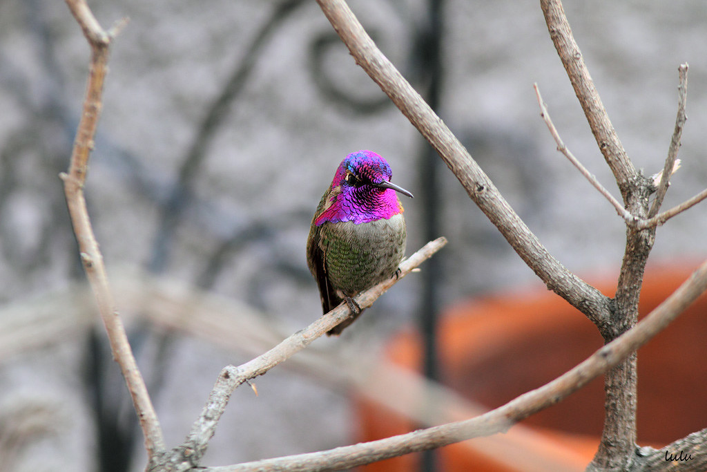 Costa's-X-Anna's-Hybrid-Hummingbird-030116