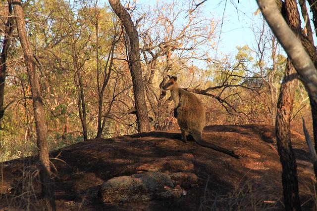 Swamp Wallaby(Black  Wallaby)澳洲昆士蘭Undara Experience-20141117-賴鵬智攝-4