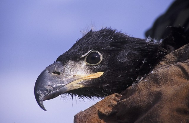 closeup photo of a bald eagle