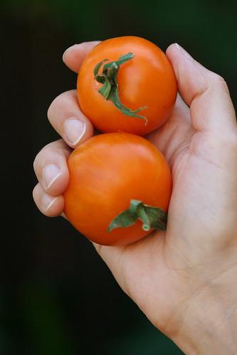 AAA sweet solano tomato
