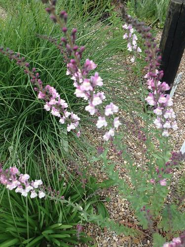 LINARIA purpurea 'Dial Park'