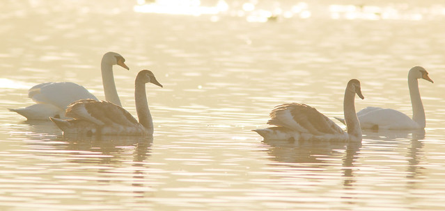 Mute Swans,D-Res,Tophill Low,East Yorkshire.
