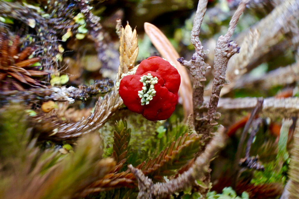 Cladonia pleurota