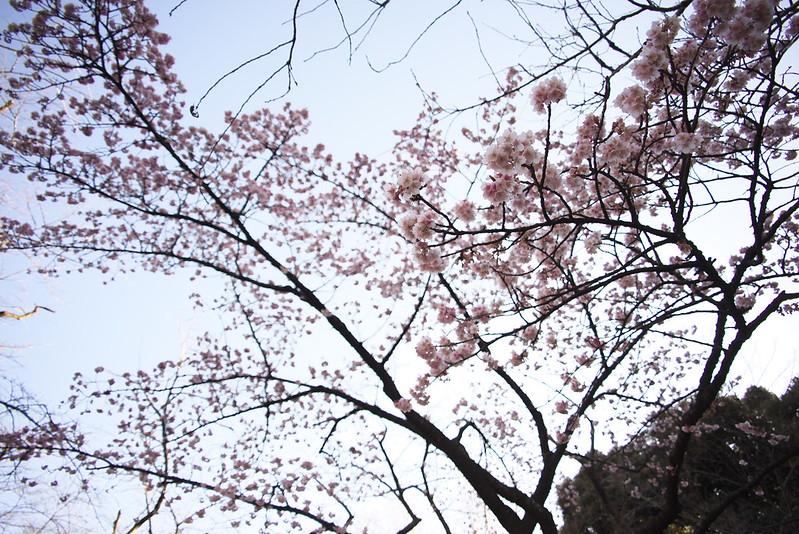 東京路地裏散歩 上野公園の寒桜 カンザクラ 2016年2月10日
