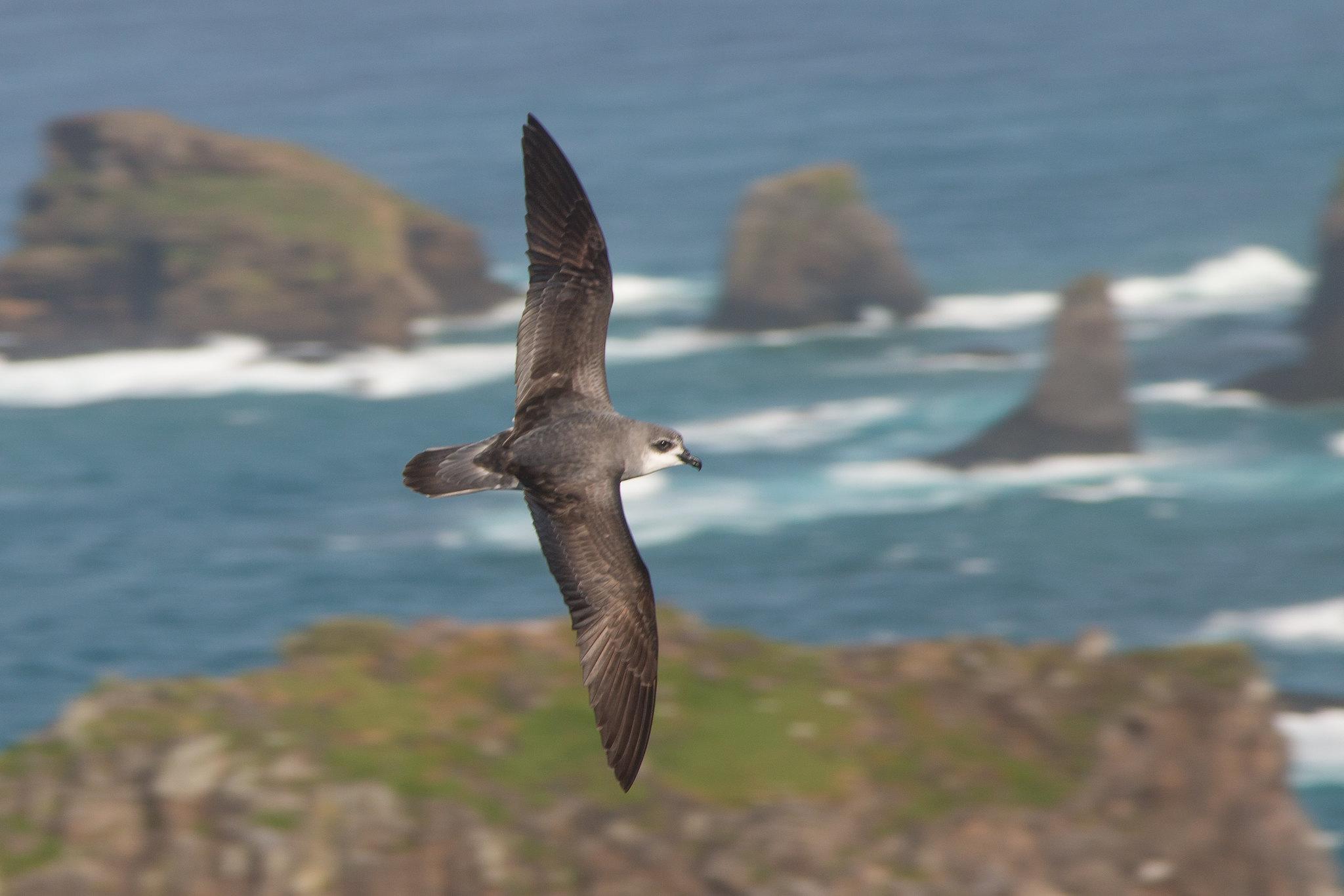 Norfolk Island Bird Extinct