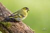 Tarin des aulnes - Carduelis spinus (Domaine Des Oiseaux, Ariège) 21 février 2016 by ÇhяḯṧtÖρнε