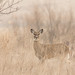 White Tailed Deer by digiphotonut