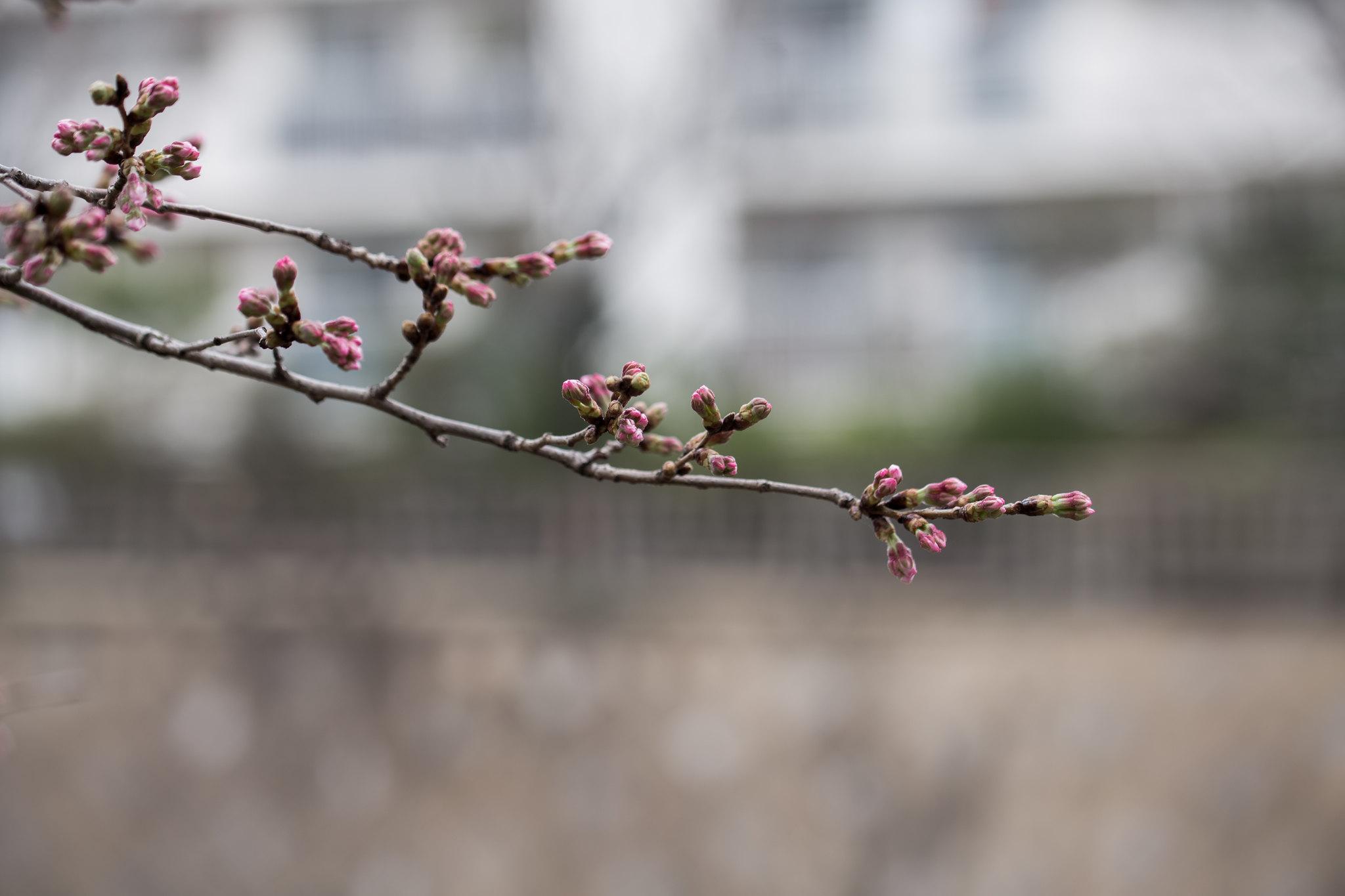2016-03-19 桜 001-15