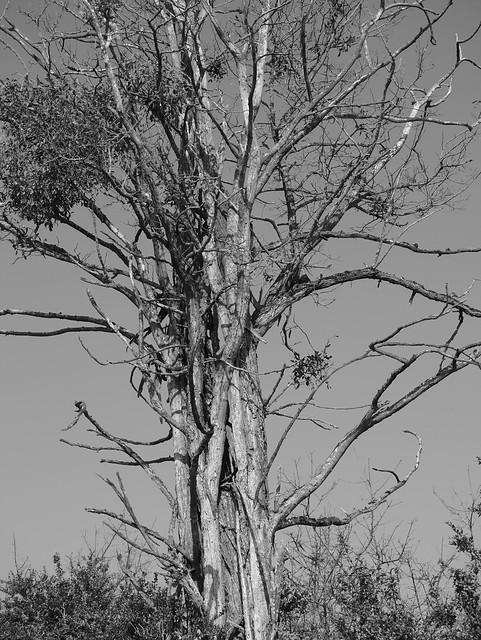 Troncs d'un arbre mort 25287093223_e83cdda8bc_z