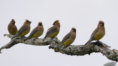 Cedar Waxwings Perched