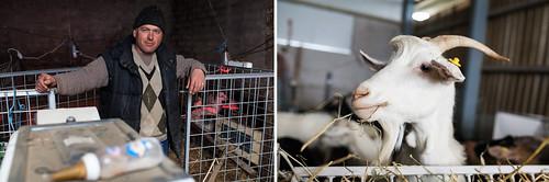 Pastori e capre