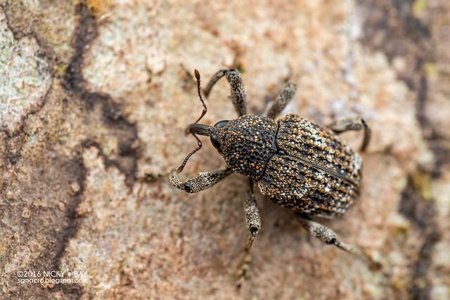 Weevil (Curculionidae) - DSC_7013