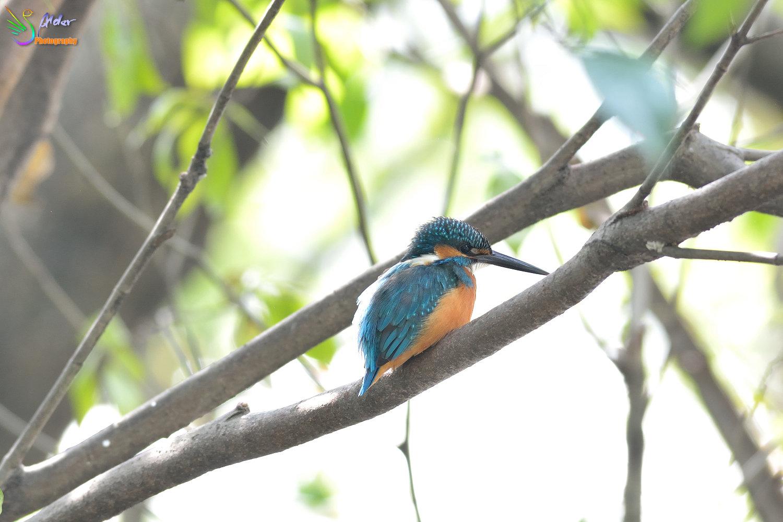 Common_Kingfisher_2735