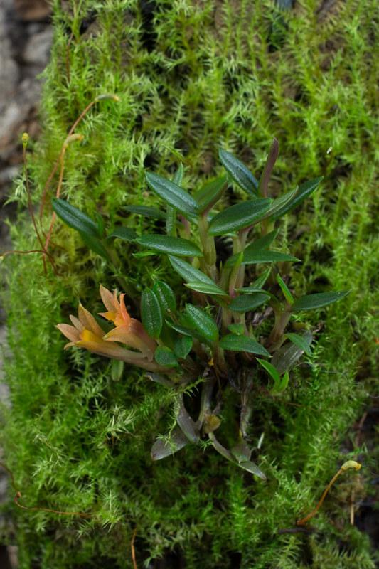 Miniatur-Orchideen Teil 3 - Seite 6 25782478931_092c55d78a_c