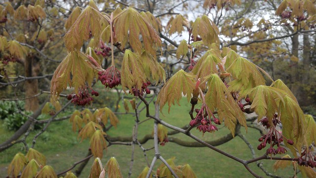 Acer-like, with chestnut-style drooping leaves