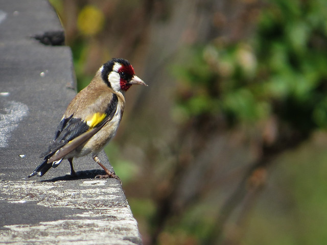 Madeira European Goldfinch