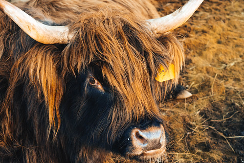 summer portrait macro fall nature beautiful beauty photography cow spring cattle outdoor farm wildlife livestock