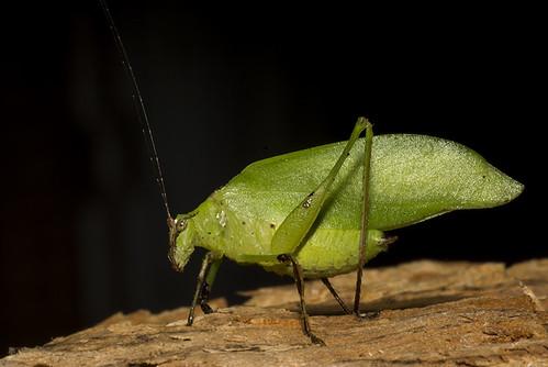 Topana aguilari  (Phaneropteridae, Phaneroptrinae)