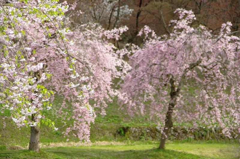 悠久山公園のしだれ桜_2016-04