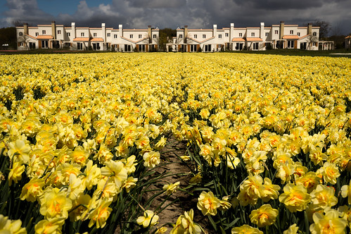 Daffodil field ^_^