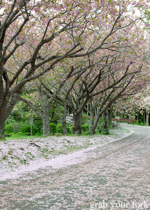 Sakura cherry blossom trees at Matsumae Castle in Hokkaido, Japan