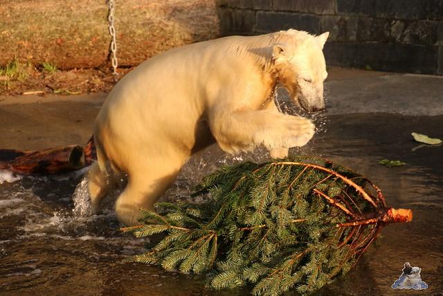 Eisbär Fiete im Zoo Rostock  0318