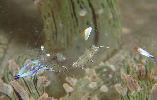 Haeckel's Anemone with Shrimps