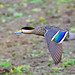 (682a) Silver Teal - [ Bueno Aires, Argentina ] by tinyfishy's World Birds-In-Flight