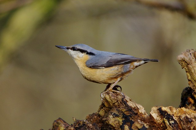 IMGP4423 Nuthatch, Lackford Lakes, January 2016