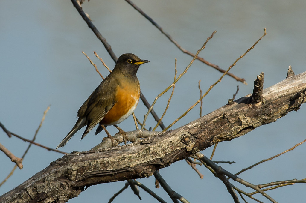 Turdus chrysolaus