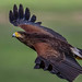 Harris Hawk in flight. Up, up and away! by sharp shooter2011