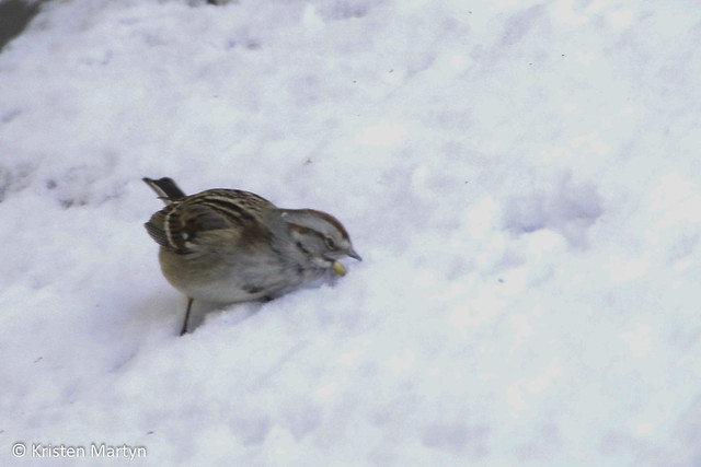 American Tree Sparrow (Spizella arborea)- Eating Snow